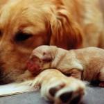(B) Golden Retriever Mom & Her Puppy