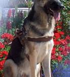 (A) Seeing Eye German Shepherd
