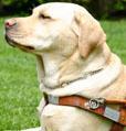 (B) Seeing Eye Labrador Retriever